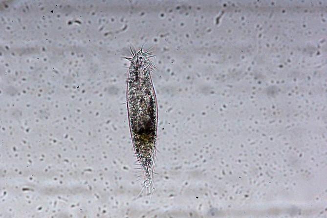 섬모충 - 박경민 연구원 제공